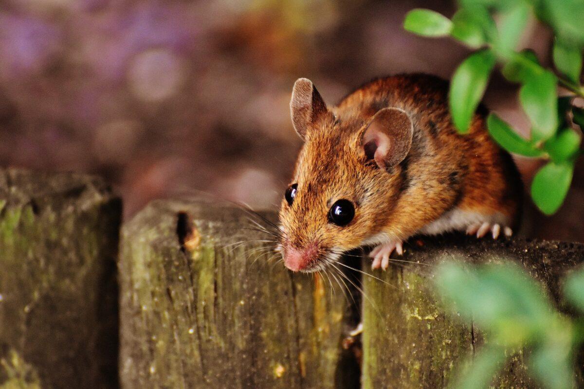 Šta znači sanjati miša?