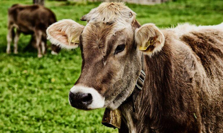 Šta znači sanjati kravu?