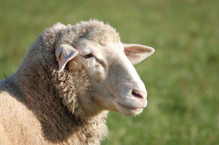 Šta znači sanjati ovcu?