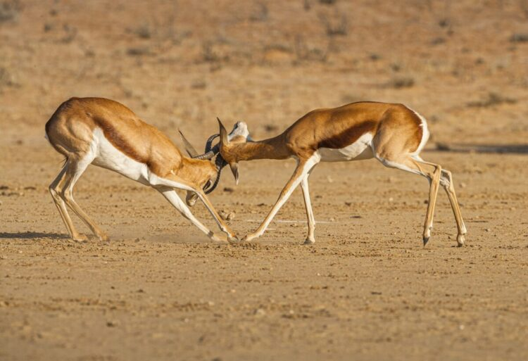 Šta znači sanjati antilopu?