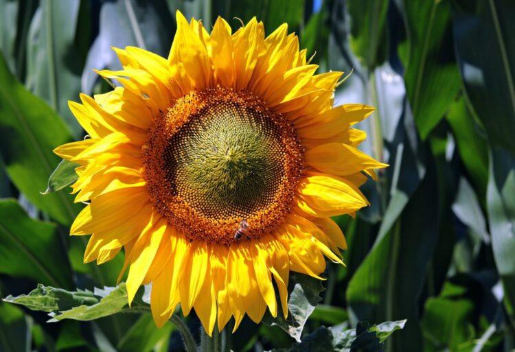 Šta znači sanjati suncokret?