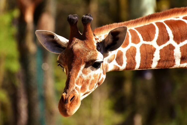 Šta znači sanjati žirafu?